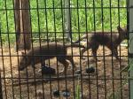 Baby Wolves again :-)